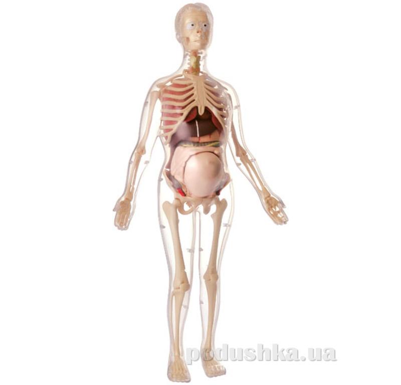 Анатомическая модель Скелет будущей матери Edu-Toys MK064