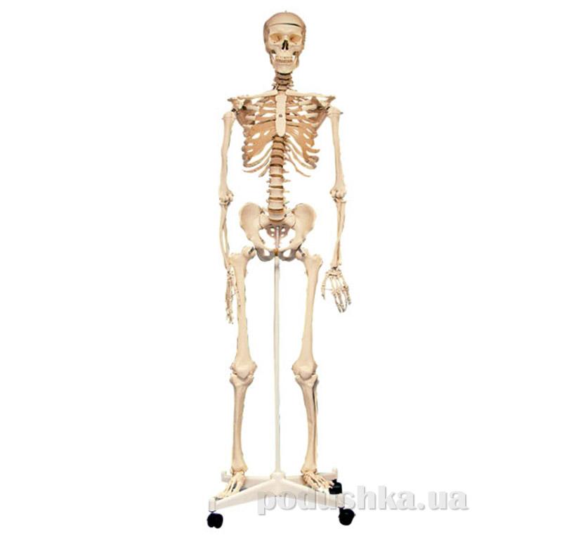 Анатомическая модель Скелет человека Edu-Toys SK160