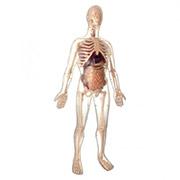 Анатомическая модель Скелетмужчины Edu-Toys MK002