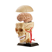 Анатомическая модель Черепно-мозговая коробка Edu-Toys SK010